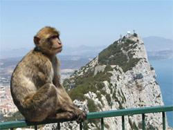 Un macaque berbère à Gibraltar